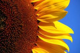 Mydło z oleju słonecznikowego - jak zrobić?