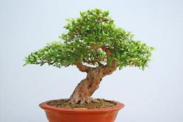 Drzewko bonsai - uprawa