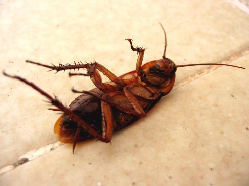 Jak pozbyć się karaluchów?