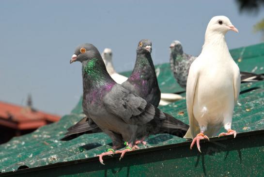 Odstraszanie gołębi z balkonu