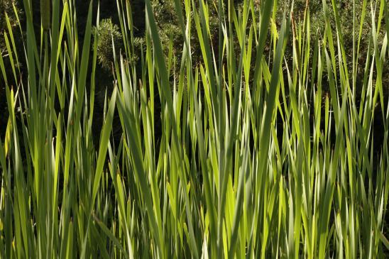Jaka trawa ozdobna do ogrodu?