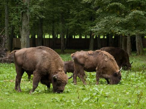 Co warto zobaczyć w Polsce? - Rezerwat Pokazowy Żubrów w Białowieskim Parku Narodowym