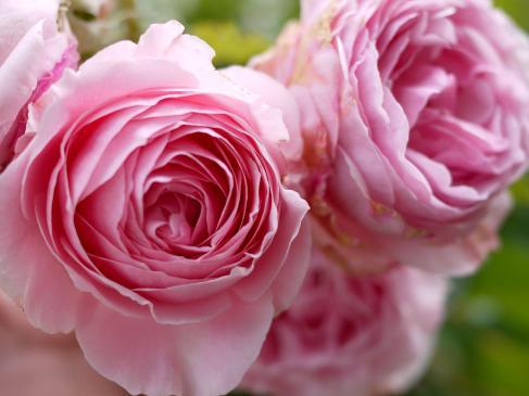 Kolory w ogrodzie - różowy