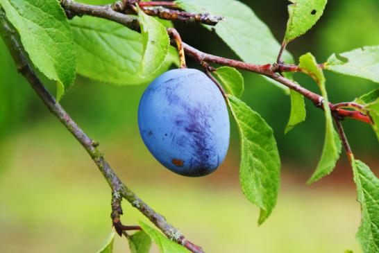 Najczęstsze choroby drzew owocowych