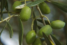 Drzewo oliwkowe - uprawa i pielęgnacja