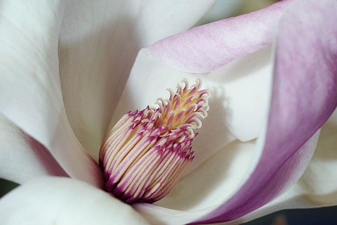 Magnolie w ogrodzie, ich uprawa i pielęgnacja